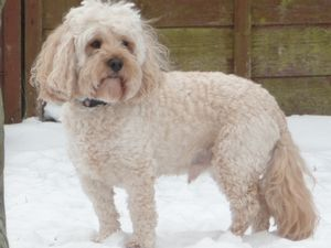 Blonde Cockapoo in the Snow