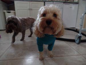 cockapoo dog ready or his walk
