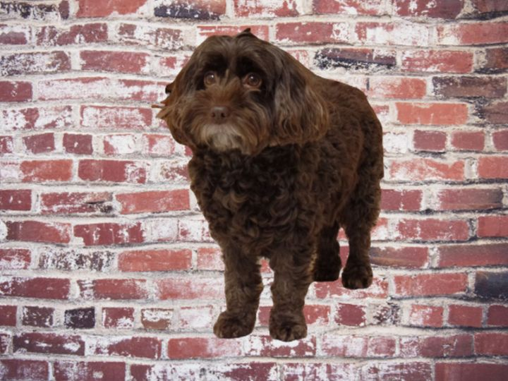 Cockapoo with brick wall background - Dog Designs