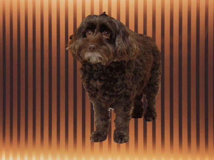 dark chocolate cockapoo 13 - Dog Designs