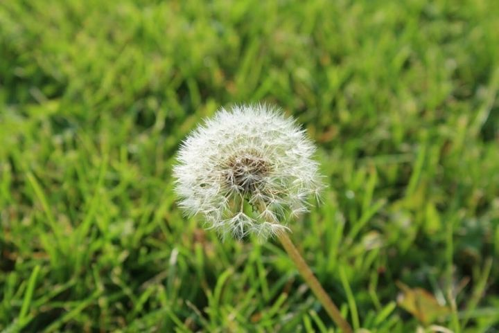 A Dandelion in the Field - Madison Czer