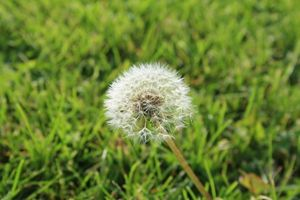 A Dandelion in the Field