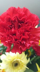 Carnation Kiss