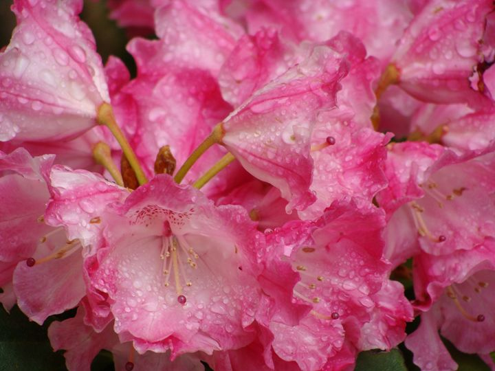 Pink Flowers - Lori Webb