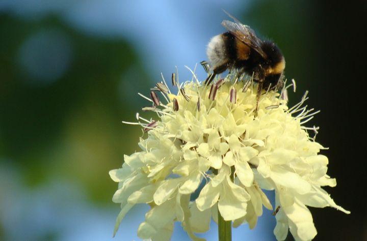 Bumblebee on Flower - Lori Webb