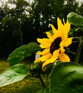 A Sunflower Outside.