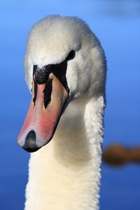 Swan - photoel