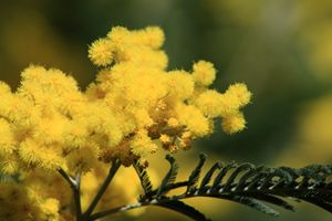 Mimosa Flower - photoel