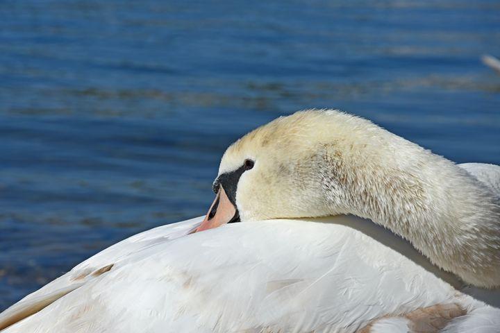 swan close up - photoel