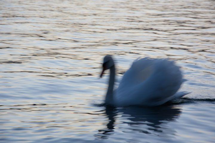 swan, the king of lake - photoel
