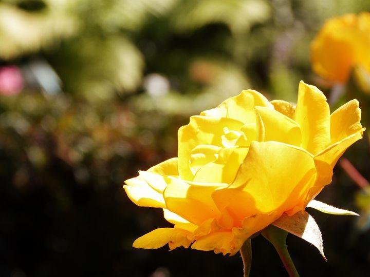 Sunlit Rose - Ginger Art