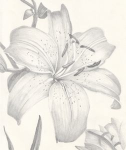 Asiatic Lily Pencil Drawing