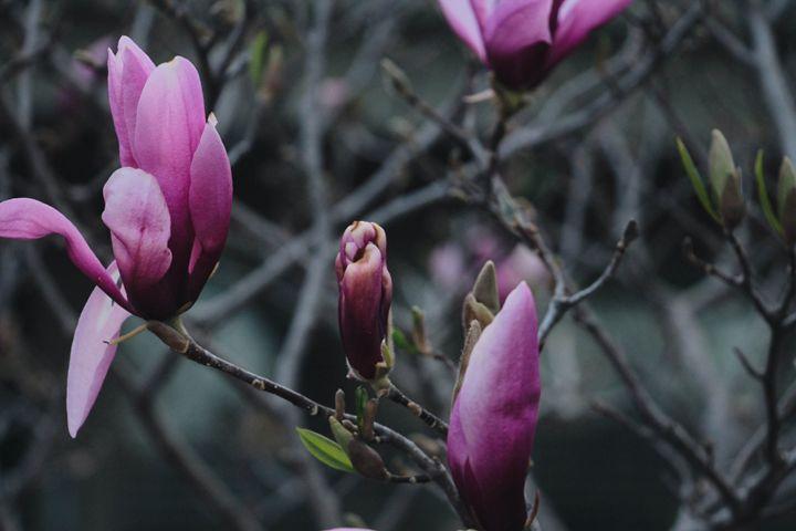 Magnolia flowers - Irina Picknell Photography