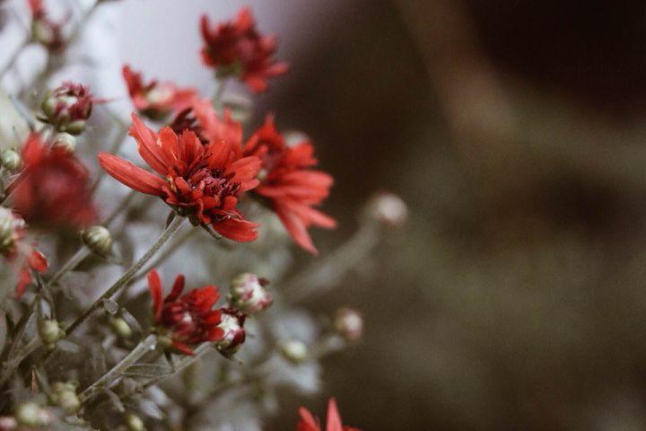 Red mums - Irina Picknell Photography