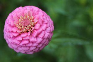 Pink Zinnia - Irina Picknell Photography