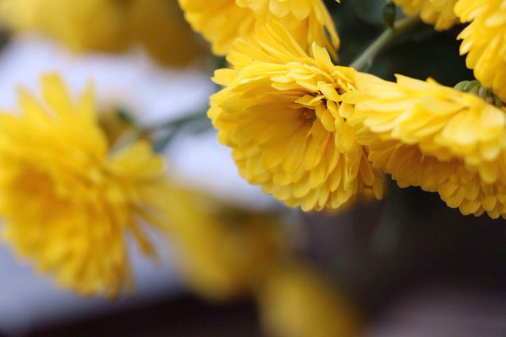 Yellow mums - Irina Picknell Photography