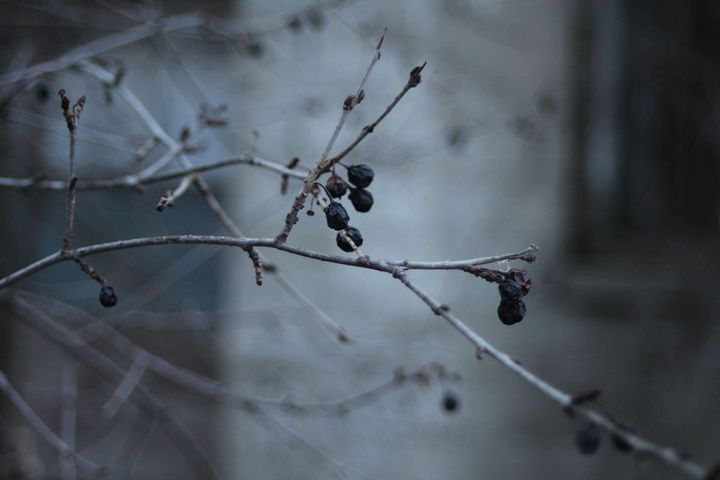 Winter time berries - Irina Picknell Photography