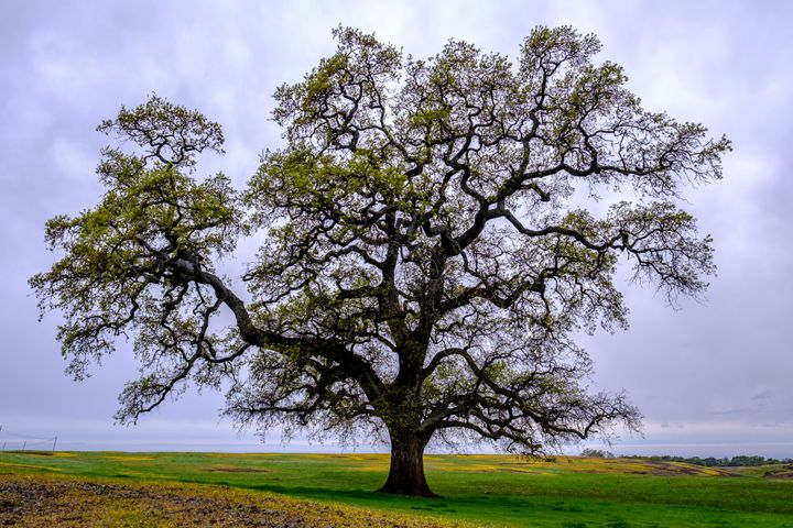 Grand Old Oak - C.S. Wright Photography
