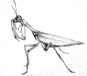 Indian Mantis