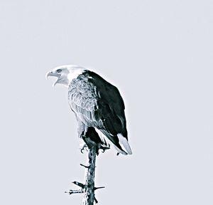 An eagle warning