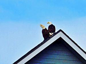 Territorial Eagles