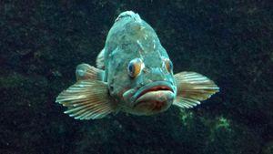bleufish