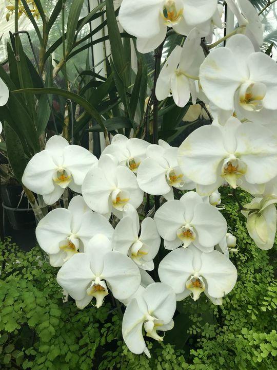 Moth Orchid - D. Alan Durham