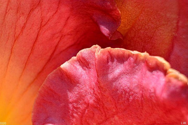 Lily Petals - Lisa Wooten Photography