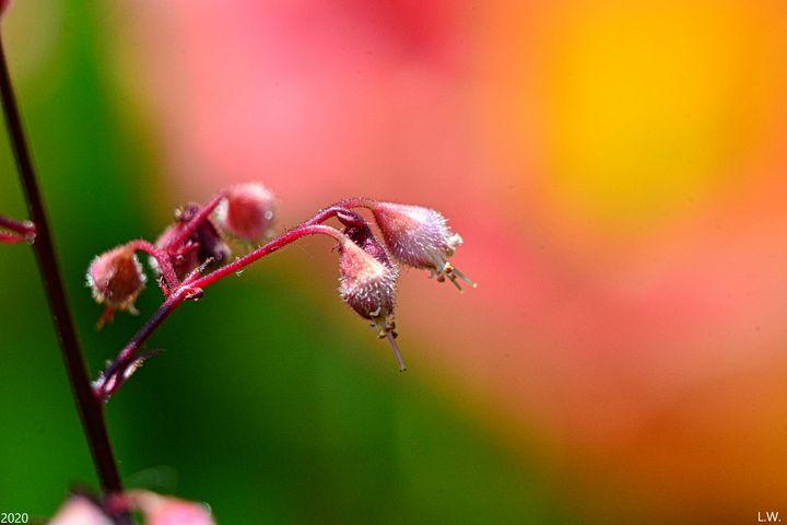 Coral Bells, - Lisa Wooten Photography