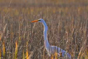 Egret Among The Reeds