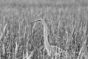 Egret Among The Reeds B&W