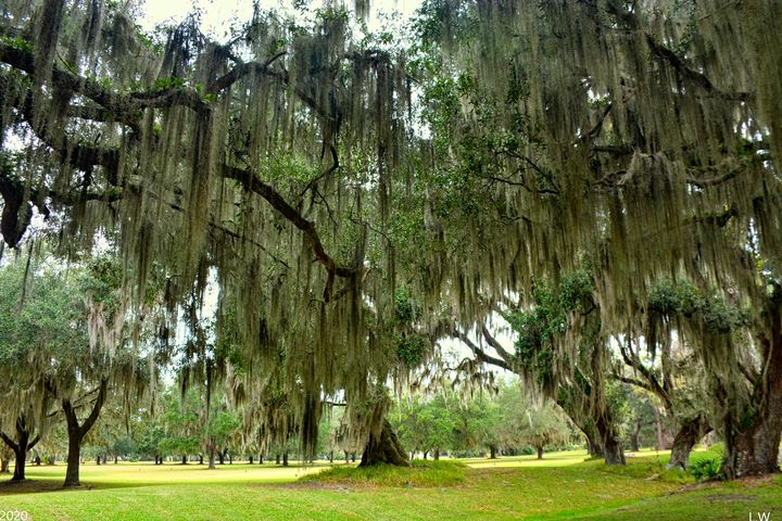 The Oak Trees and Moss At Fort Frede - Lisa Wooten Photography