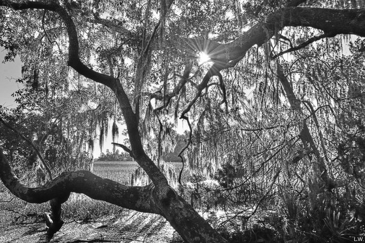 Sunburst Through The Oak Trees Black - Lisa Wooten Photography