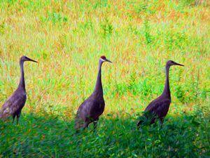 Sandhill Cranes Standing