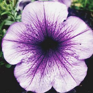 Beautiful petunia