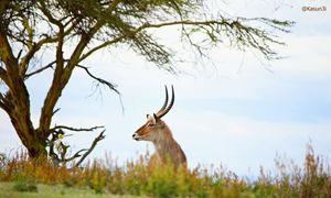 The Lone Antelope