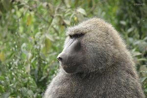 The Male African Baboon