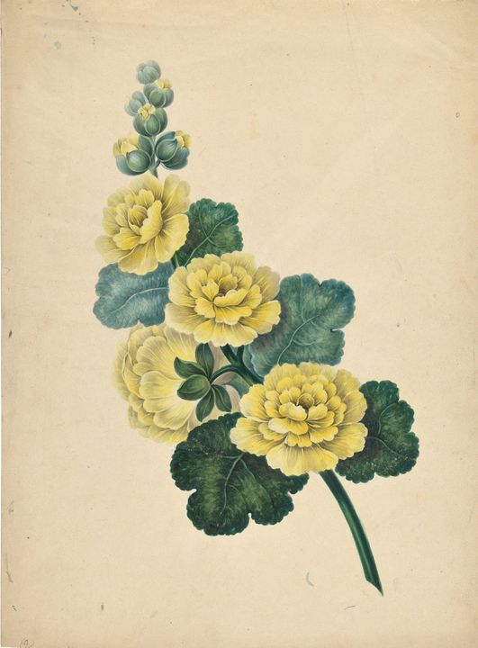 DRUMMOND, MARY BOTHWELL HOME~Alcea - Old master