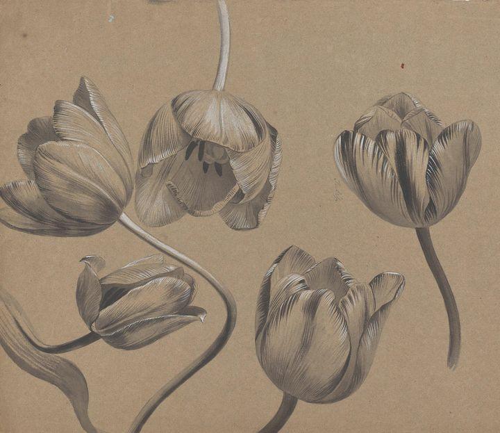 DRUMMOND, MARY BOTHWELL HOME~Tulipa - Old master