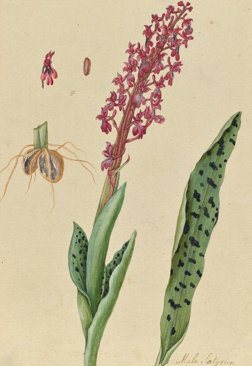 Elizabeth Blackwell~Orchidaceae - Old master