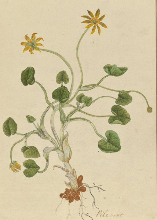 Elizabeth Blackwell~Ranunculus ficar - Old master