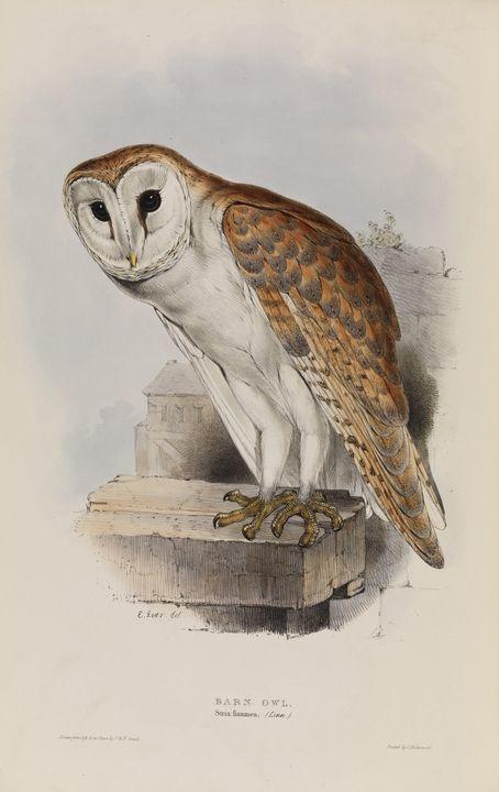 Elizabeth Gould~Barn Owl, Tyto alba - Old master