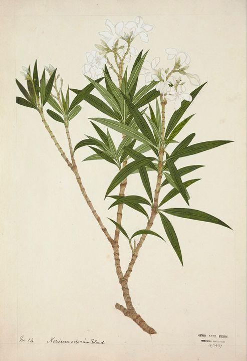 Company School~Indian Oleander (Neri - Old master