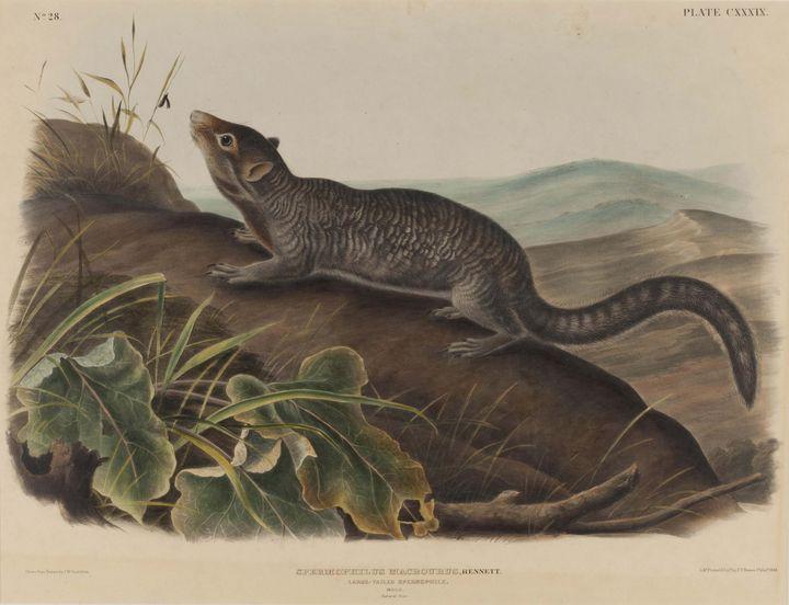 John James Audubon~Spermophilus Macr - Old master