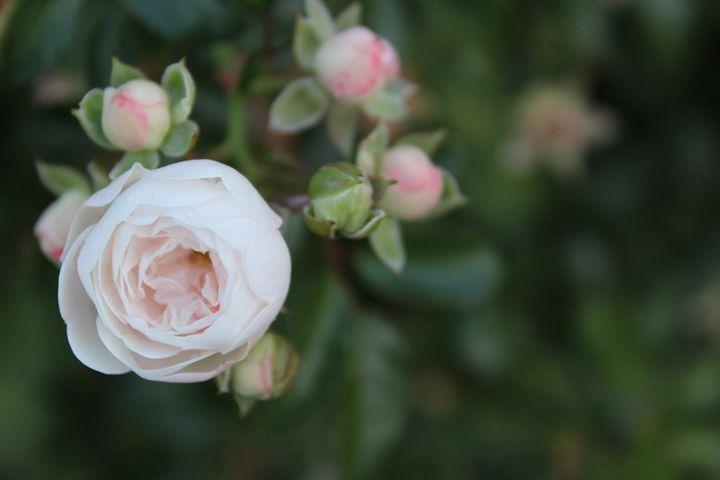 Baby Pink Bloom - Little Bits of Heaven