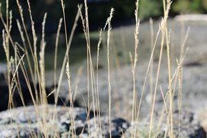 Seashore Grass