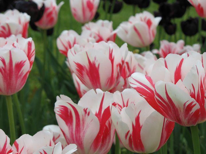 Lilac Festival Flowers - Michelle Benedett