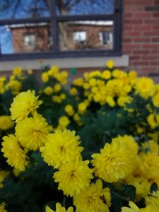 Mums and a Window