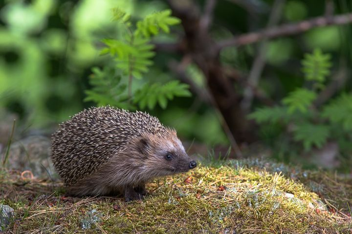 European Hedgehog - Nature photos