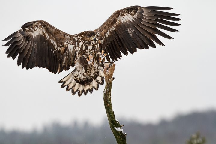 White-tailed Eagle - Nature photos